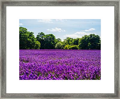 Mayfield Lavender Framed Print