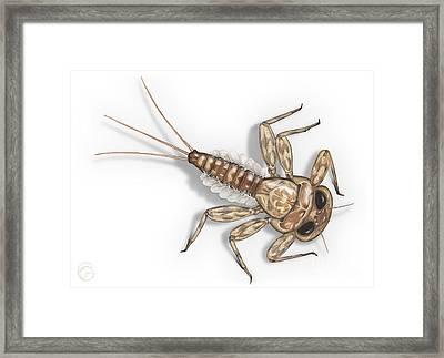 Mayfly Larva Nymph Rithorgena Ecdyonurus Venosus - Moscas De May Framed Print