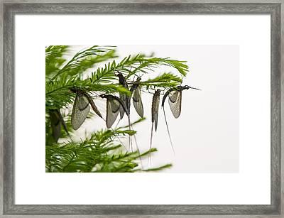 Mayfly Slumbers Framed Print