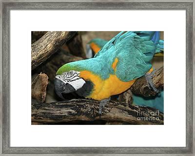 Mccaw Parrot Framed Print by Sabrina L Ryan