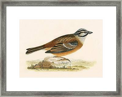 Meadow Bunting Framed Print