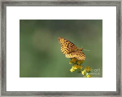 Meadow Fritillary Framed Print by Randy Bodkins