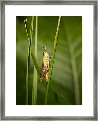 Framed Print featuring the photograph Meadow Grasshopper by Jouko Lehto