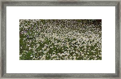 Framed Print featuring the photograph Meadow Of Daisey Wildflowers Panorama by James BO Insogna