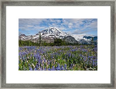 Meadow Of Lupine Near Mount Rainier Framed Print
