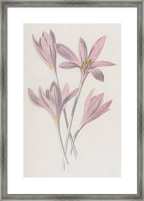 Meadow Saffron Framed Print by Frederick Edward Hulme