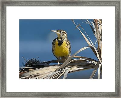 Meadowlark Beauty Framed Print