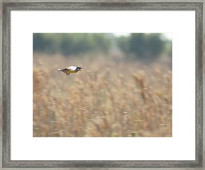 Framed Print featuring the photograph Meadowlark Flying by Lynda Dawson-Youngclaus