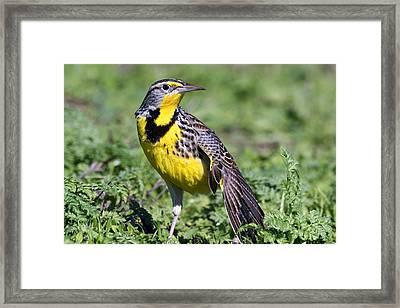 Meadowlark On The Runway Framed Print