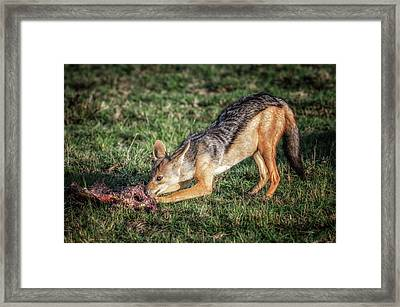Meal Of The Jackal Framed Print by Alain Gaymard