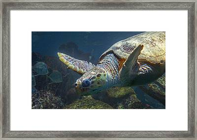 Meandering Green Sea Turtle Framed Print