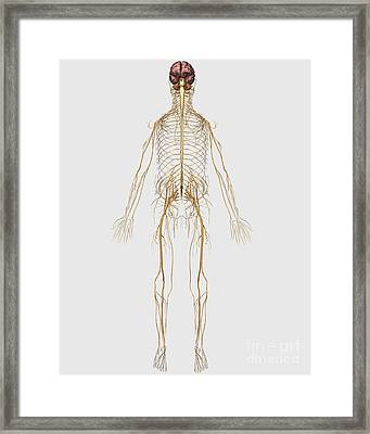 Medical Illustration Of Peripheral Framed Print by Stocktrek Images