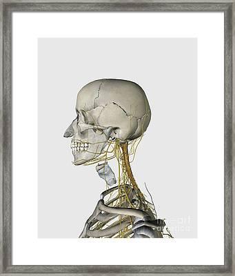 Medical Illustration Showing Thyroid Framed Print