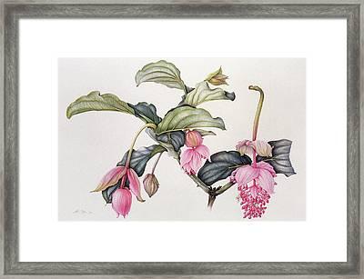 Medinilla Magnifica Framed Print by Margaret Ann Eden