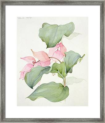 Medinilla Magnifica Framed Print by Sarah Creswell