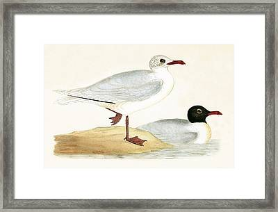 Mediterranean Black Headed Gull Framed Print by English School