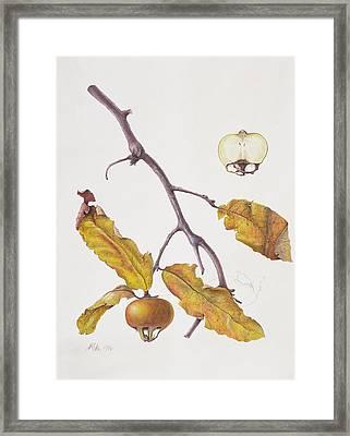 Medlar Framed Print by Margaret Ann Eden