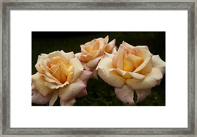 Medley Of Three Yellow Roses Framed Print by Barbara Middleton
