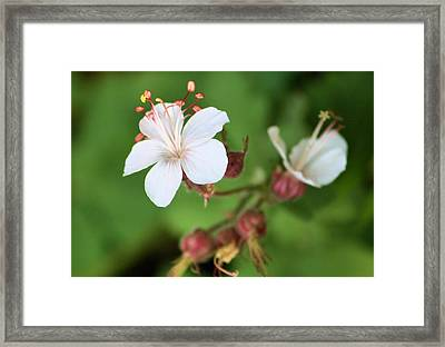 Medusa Flower Framed Print by Karen Scovill