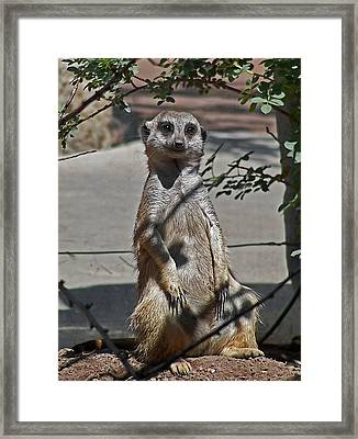 Meerkat 2 Framed Print by Ernie Echols
