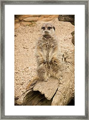 Framed Print featuring the photograph Meerkat by Chris Boulton
