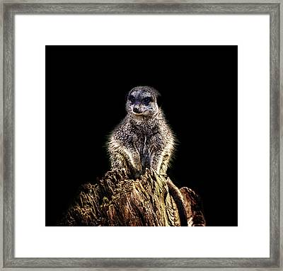 Meerkat Lookout Framed Print