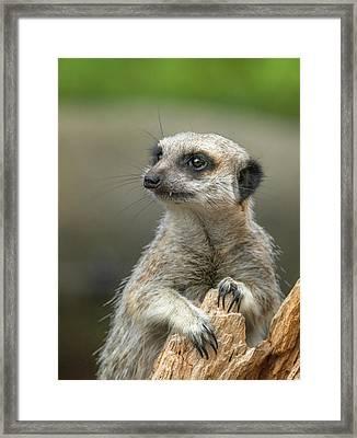 Meerkat Model Framed Print
