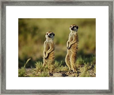 Meerkat Pair Framed Print