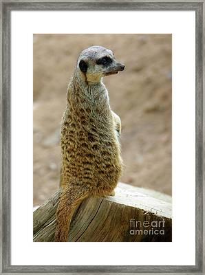 Meerkat Portrait Framed Print by Carlos Caetano