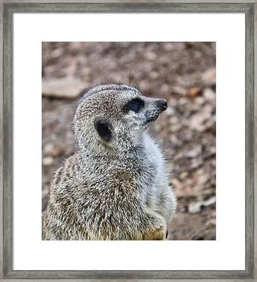 Meerkat Portrait Framed Print by Douglas Barnett