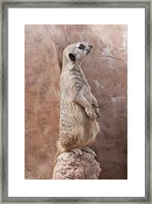 Meerkat Sentry 3 Framed Print
