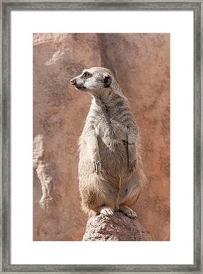 Meerkat Sentry 5 Framed Print