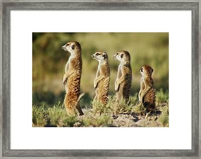 Meerkat Stairsteps Framed Print