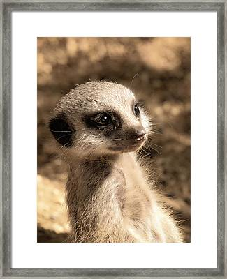 Meerkatportrait Framed Print by Chris Boulton