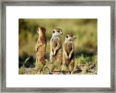 Meerkats Three Framed Print by Bruce W Krucke