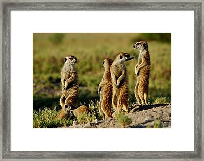 Meerkats Watching Everywhere Framed Print by Bruce W Krucke