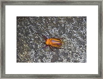 Meet The Beetle From Biblian - Ecuador Framed Print by Al Bourassa