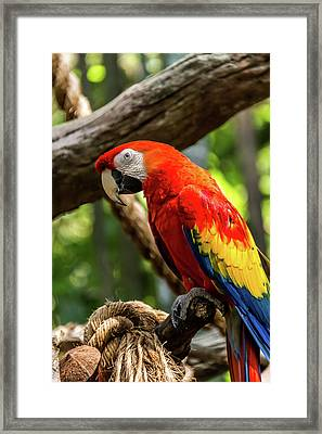 Meet The Macaws Framed Print by Pamela Williams