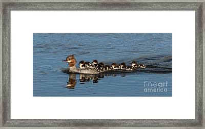 Meet The Mergansers Framed Print