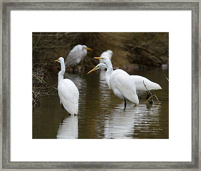 Meeting Of The Egrets Framed Print