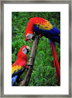Meeting Of The Macaws  Framed Print by Harry Spitz