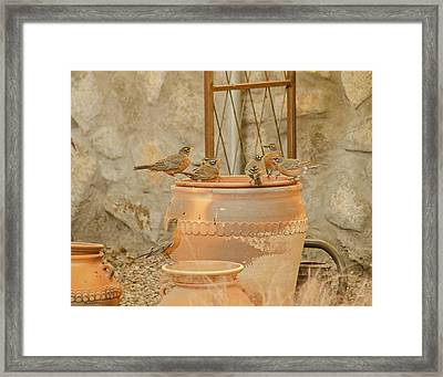 Meeting Of The Robins Framed Print by Allen Sheffield