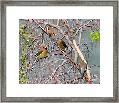 Meeting Of The Waxwings Framed Print by Mike Dawson