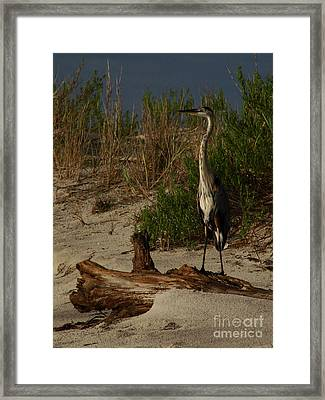 Mein Heron Framed Print by Mark Holbrook