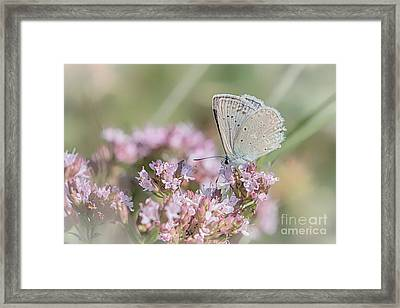 Meleagers Blue Butterfly Framed Print by Jivko Nakev