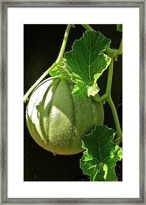 Mellow Mellon Framed Print by Gwyn Newcombe