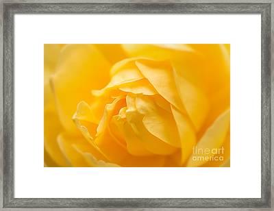 Mellow Yellow Rose Framed Print