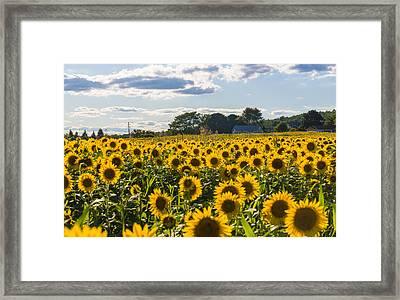 Mellow Yellows Framed Print