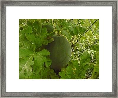 Melon Framed Print by Stephen Davis