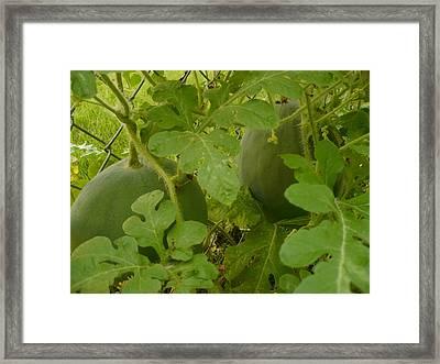 Melons Framed Print by Stephen Davis